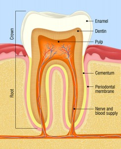 Dentin supports the tooth, but is extremely sensitive.