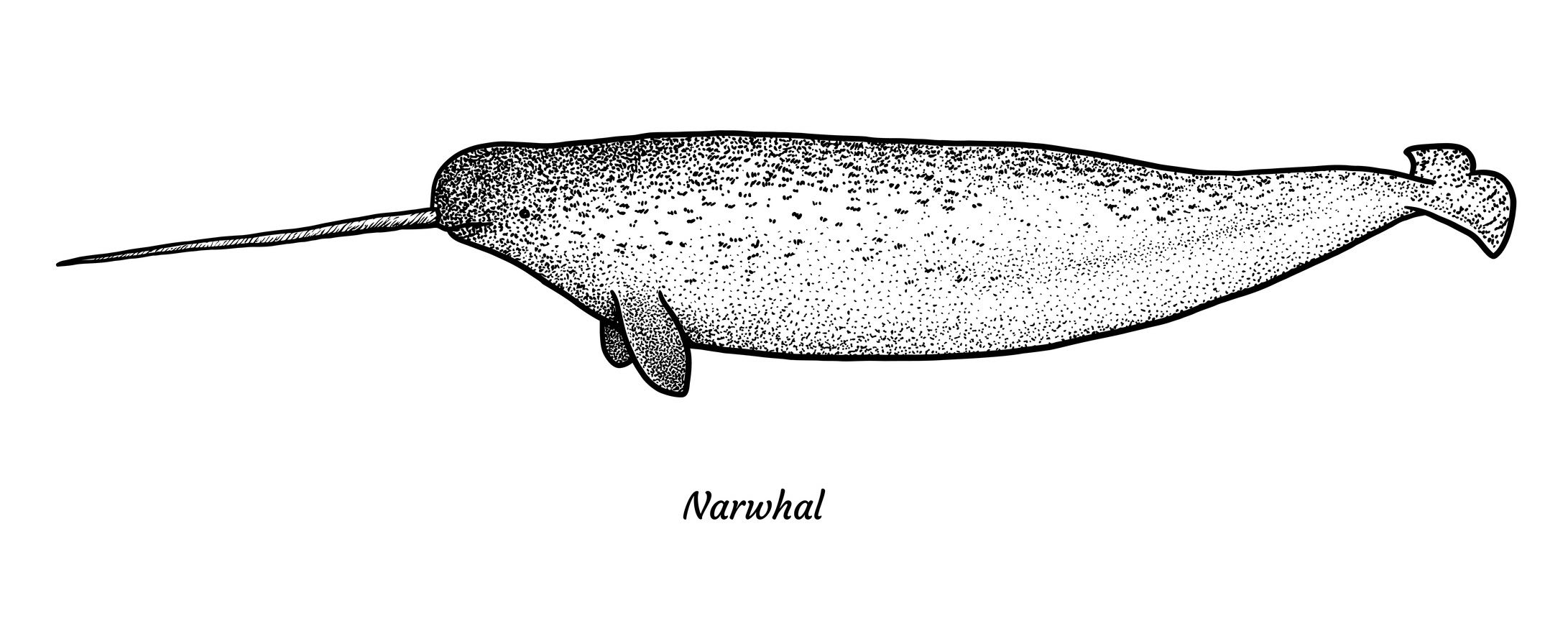 The narwhal's tusk is actually a very long and sensitive tooth.